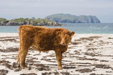 Les vaches aussi vont à la plage à Bolstadh