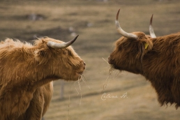Highlands cows
