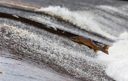 salmon pixabay public