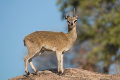 Klipspringer ou oréotrague