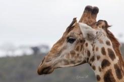 Giraffe avec Piqueboeuf à bec rouge