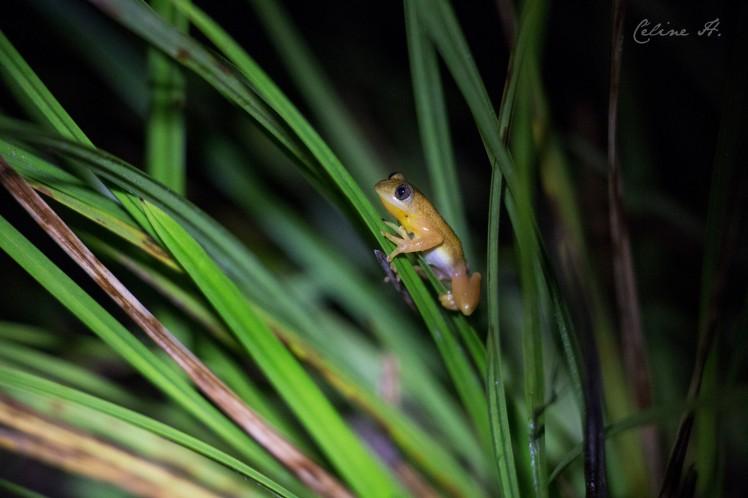 natal-leaf-folding-frog-copie