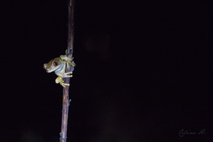 natal-tree-frog-copie