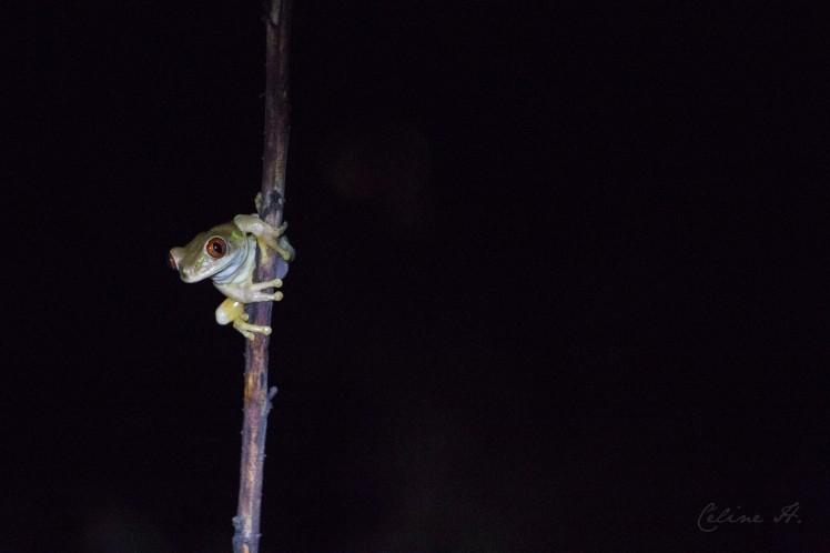 natal-tree-frog-copie